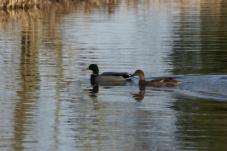 Wild ducks along canal